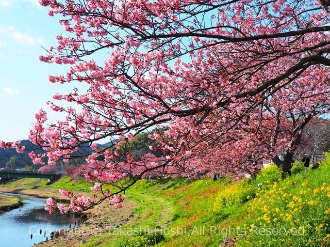 と まつり みなみ 菜の花 の 桜 南伊豆の河津桜「みなみの桜と菜の花まつり」2021年の見頃と開花状況は?見どころとライトアップは?